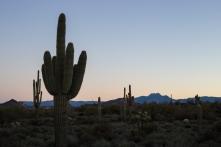 Saguaro Cactus for miles